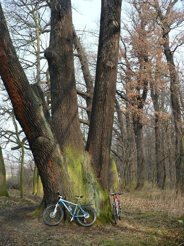 Malá kola u obrovského dubu.